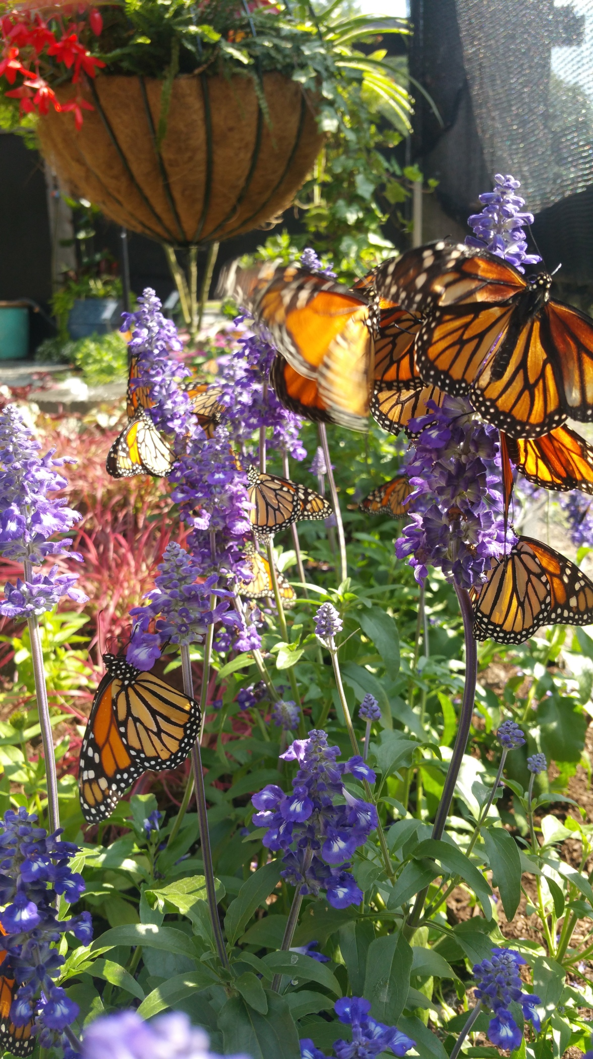 Monarchs on Salvia