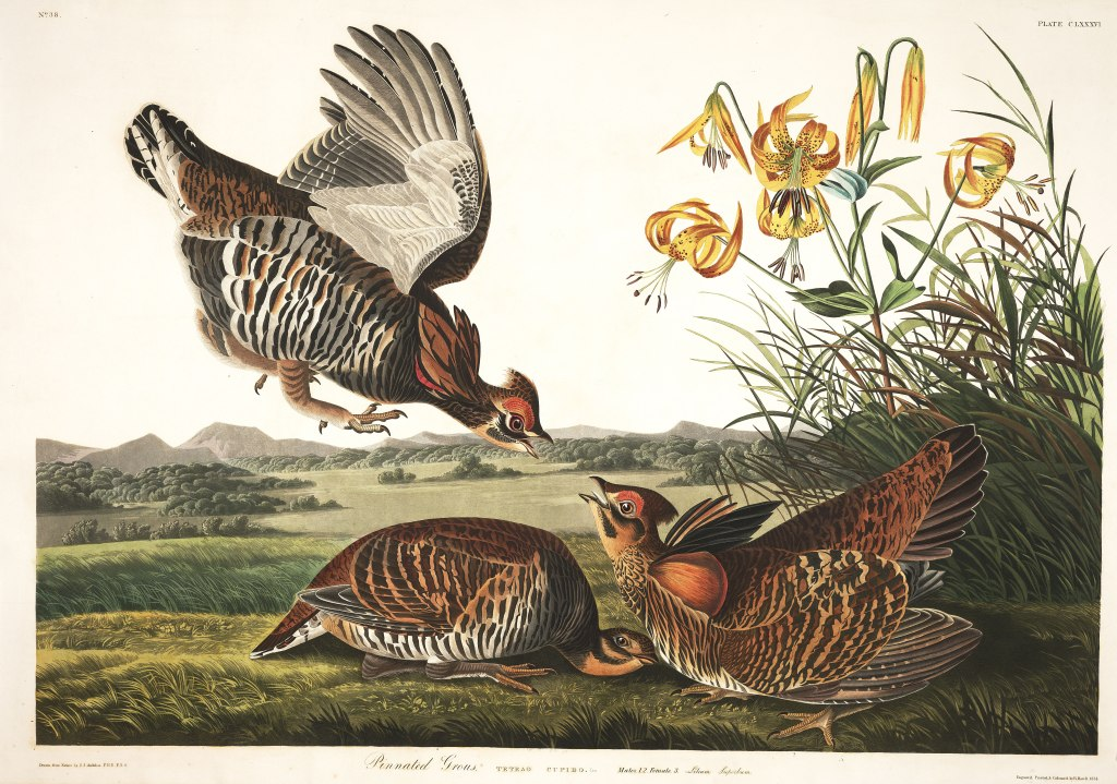 1-j-j-audubon-pinnated-grous